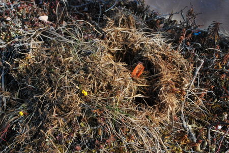 tussock in OTC dug up by vole